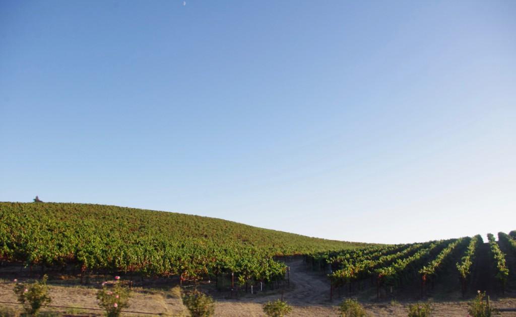 葡萄畑が美しすぎる…